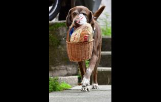 """Eros carries a basket of bread from the El Porvenir mini-market as he makes a delivery on his own in Medellin, Colombia, on Tuesday. The eight-year-old chocolate Labrador remembers the names of customers who have previously rewarded him with treats, and with some practice, he has learned to go to their houses on his own. """"He helps us to maintain social distancing,"""" said Eros' owner Maria Natividad Botero, amid the COVID-19 pandemic."""